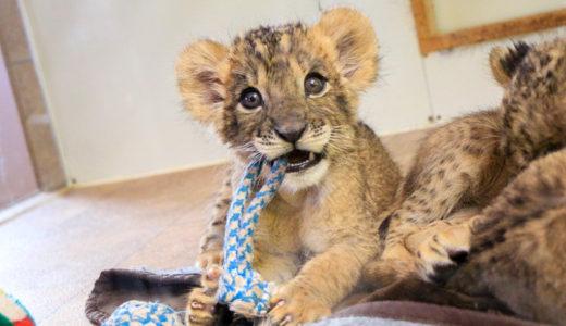 猫科の猛獣類フリークが歓喜✦大分アフリカンサファリ